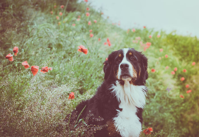Morning vibes Beauty In Nature Bernese Bernese Mountain Dog Field Grass Morning Nature Outdoors Pets Poppy Poppy Fields Poppy Flowers Summer Summer Vibes