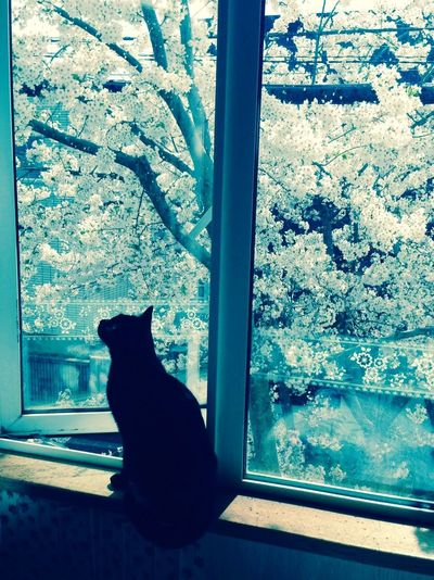 Cherry blossoms and my cat Kie. What is she thinking about?