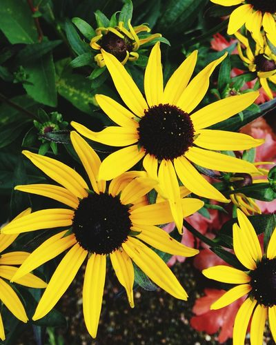 A Close-up of Bright Yellow Flowers . Featuring Flower Fragility Petal Growth Beauty In Nature Nature Freshness Plant Flower Head Black-eyed Susan Day Pollen Outdoors Coneflower Blooming No People Focus On Foreground Growth Background Plant Nature