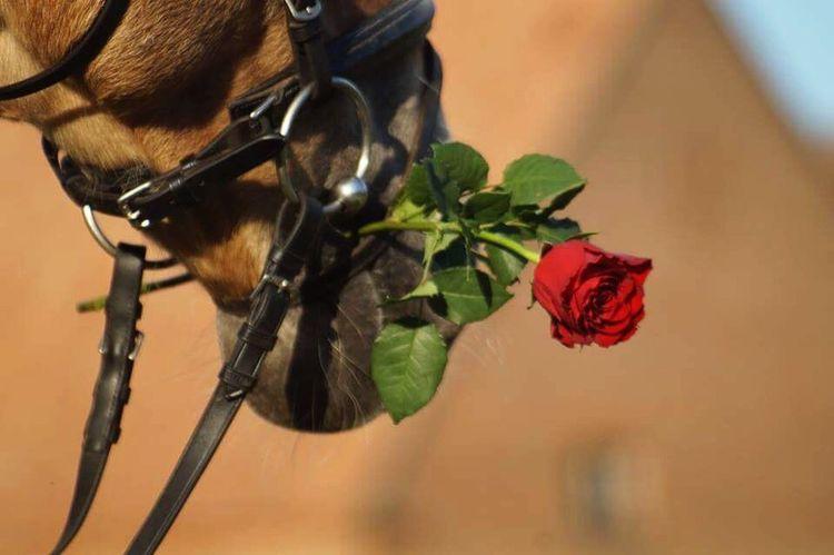 Flower Pets Horse Amazinghorse Redroses Roses Nature Naturephotography Animal Body Part