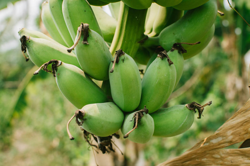 Green Color Food And Drink Food Close-up Growth Focus On Foreground Tree Leaf Freshness Nature Beauty In Nature Outdoors Backgrounds Banana Fruit Banana Tree