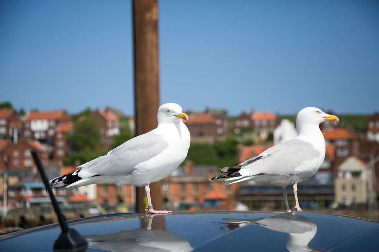 Do not feed the birds Seagulls Whitby Animal Animal Themes Animal Wildlife Animals In The Wild Beak Bird Clear Sky Close-up Day Focus On Foreground Group Of Animals Nature No People Outdoors Perching Sea Bird Seagull Sky Two Animals Vertebrate Water White Color