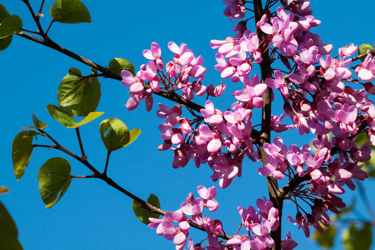 Blue Green Pink Beauty In Nature Blossom Blue Blue Sky Branch Branches And Sky Clear Sky Close-up Cologne Day Flower Fragility Freshness Growth Leaf Nature Outdoors Petal Pink Pink Blossoms Pink Color Structure Structures Tree