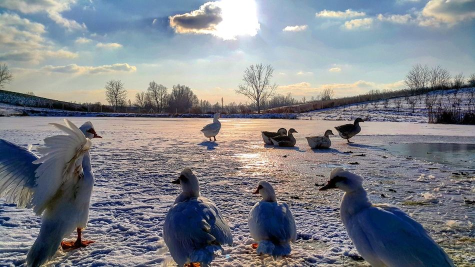 Village Duck Lake Snow Winter Cold Ice Animal Nature