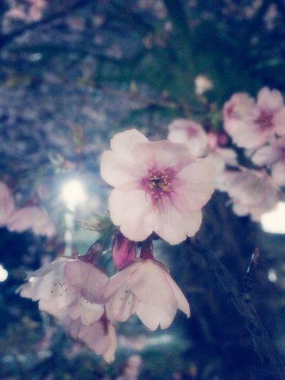 Cherry Blossoms Night Relaxing Tokyo オオカンザクラ