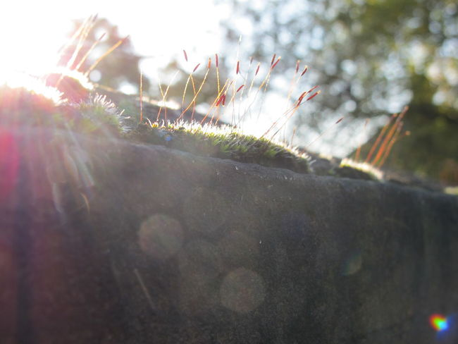 I like this image for it's simplicity of subject, beautiful light and the viewpoint. It kinda reminds me of the frustration of not being tall enough to see everything as a child yet it also captures carefree times of appreciating the pure beauty of being outside amongst nature. Beautiful Beautiful Nature Sunny Day Sunny Macro Beauty Macro Glare Sunlight Glares Moss Mossporn Plants Sprouting Looking Up Wall Nature Nature Photography Naturelovers Nature On Your Doorstep Natural Beauty Nostalgia Playing Out Walking Around In Nature  Photographic Memory