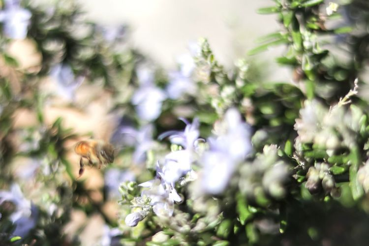 blurry vision Honey Bee HoneyBee Bee Bees Nature EyeEm Nature Lover EyeEm Best Shots Exploring California Blurred Motion Blur Bokeh Bokeh Photography Plant Backyard Green Tree Flower Defocused Christmas Close-up Plant Life In Bloom Blossom Stamen Pistil Botany Growing Branch Blooming