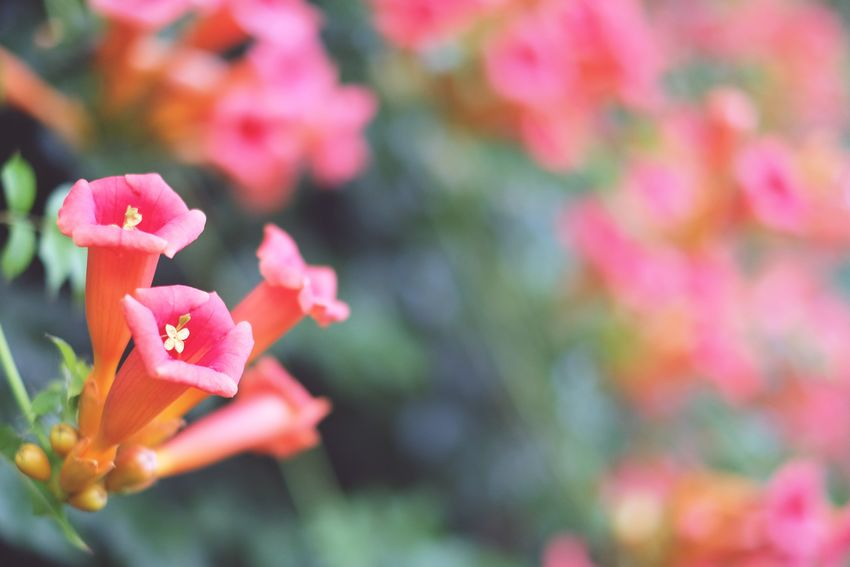 Flowers Pink Color In Bloom Beauty In Nature Focus On Foreground