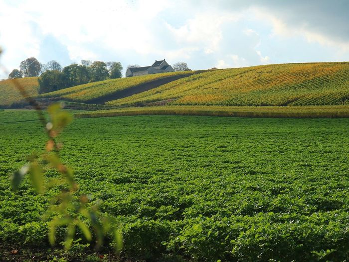 vineyard in Maastricht, almost Windows xp wallpaper lookalike Field Nature Sky Agriculture Rural Scene Beauty In Nature Growth Landscape Tranquil Scene Scenics Green Color No People Farm Tranquility Outdoors Yellow Tree Day Cloud - Sky Grass Maastricht Vineyard Wine Netherlands Winetasting