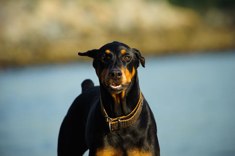 Portrait of doberman pinscher at beach