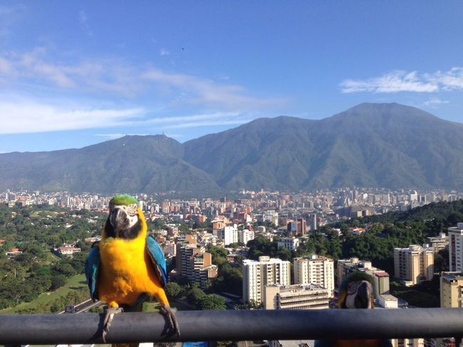 The EyeEm Facebook Cover Challenge Guacamaya Avila Venezuela Guacamayo Guacamaya Venezolana! Venezuela Colorful Cityscapes City Life City Cityscape Bird Caracas City El Avila .Caracas Venezuela Caracas Tourism Travel Destinations Stories From The City