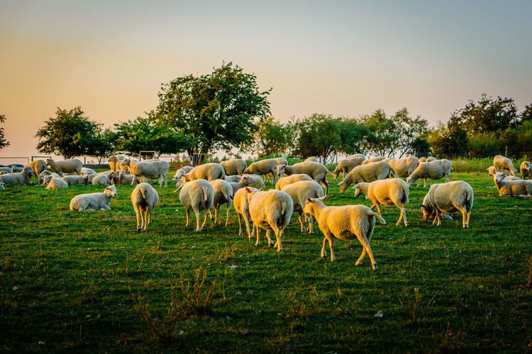 Agriculture Animal Themes Clear Sky Countryside Day Domestic Animals Domestic Cattle Farm Field Full Length Grazing Green Color Herd Livestock Mammal Outdoors Pasture Rural Scene Tranquil Scene Tree Zoology