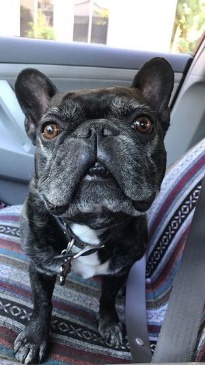 Love my traveling companion! Roscoe Pets One Animal Dog Looking At Camera Portrait Close-up Frenchbulldog Frenchie Doggo