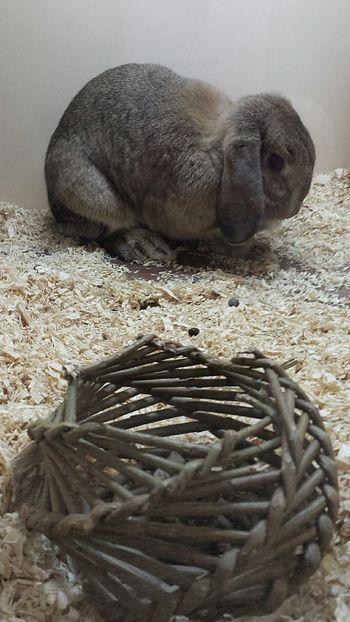 Please adopt me xxxxxxx Nefilian Xxxxxxx Rabbit ❤️ Foster Qute Animals Color X