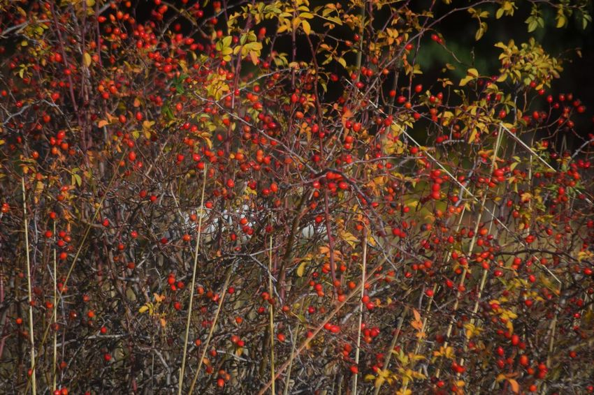 Growth Plant Beauty In Nature Red Nature No People Autumn Tranquility Branch Land Fruit