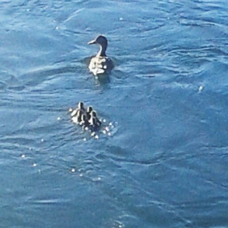 Family of ducks lol too cute