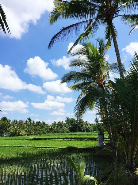 Palm Tree Nature Agriculture Riz Bali, Indonesia Ubud
