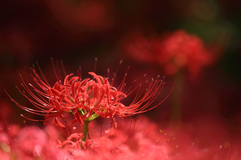 Beauty In Nature Close-up Flower Flower Head Flowering Plant Focus On Foreground Fragility Freshness Growth Inflorescence Nature No People Outdoors Petal Pink Color Plant Pollen Red Selective Focus Vulnerability