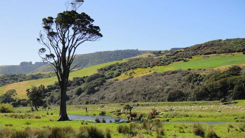 New Zealand Scenery Tree