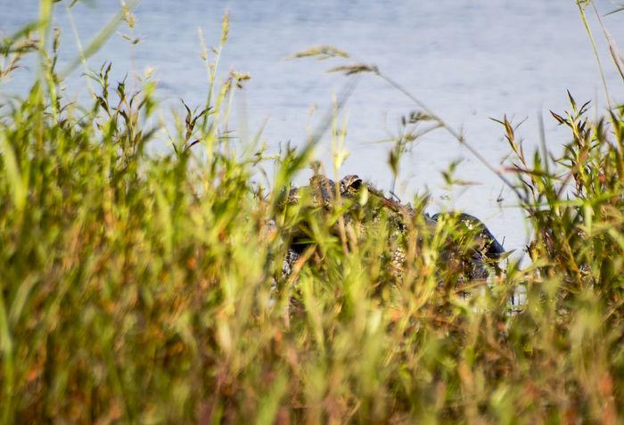 Hiding American Alligator Alligator Animals In The Wild Dangerous Day Grass Hiding Lake Lake View Lakeside Myakka Myakka State Park Nature Nature Photography Naturelovers No People One Animal Outdoors Peekaboo Predator Reptile Reptiles Summer Teeth Wildlife