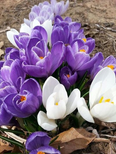 Crocus bundle Crocus Flower Crocus Bundle Purple And White Crocuses Spring