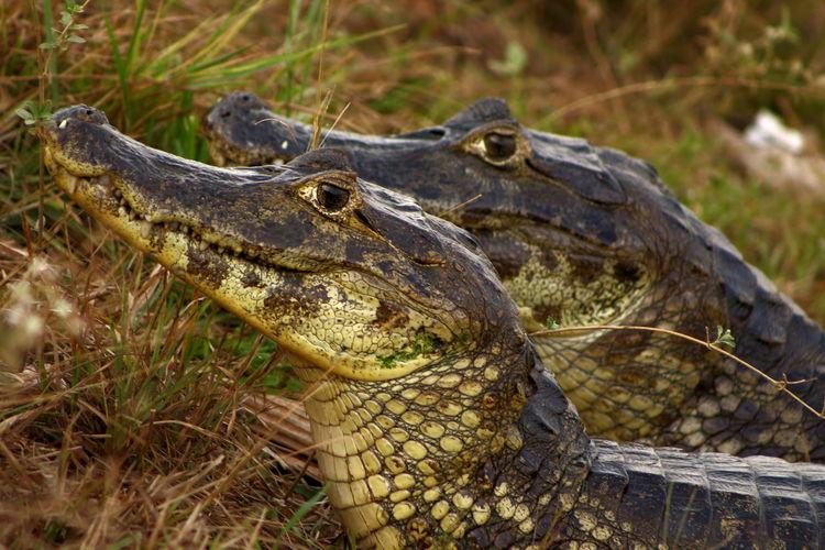 Aligator Alligators Animal Head  Close-up Crocodile Day Duet Field Focus On Foreground Nature Outdoors Pantanal Power In Nature Wildlife Wildlife & Nature