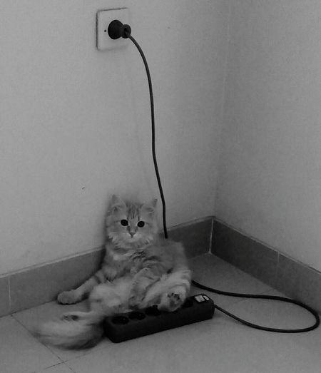 Wait.. i'm tired Pets Kitten Persian Cat  Sitting Domestic Cat Feline Lying Down Domestic Room Portrait Animal Hair EyeEmNewHere