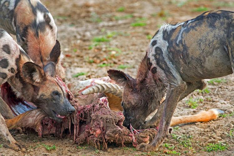 Animals In The Wild Dangerous Animals Eating Endangered Species Feeding  Hunter Painted Dog Wild Dogs Wildlife & Nature Wildlife Photography Agression Animal Behaviour Carnivore Killer Predator Wild