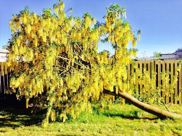 Yellow Tree Nature Skew Light Paint The Town Yellow EyeEmNewHere Summer Exploratorium
