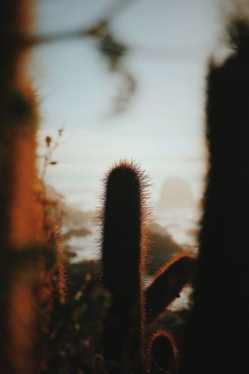 Close-up of cactus growing against sky during sunset