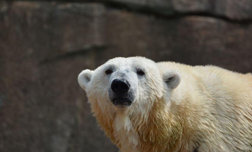 Close-up of a polar bear