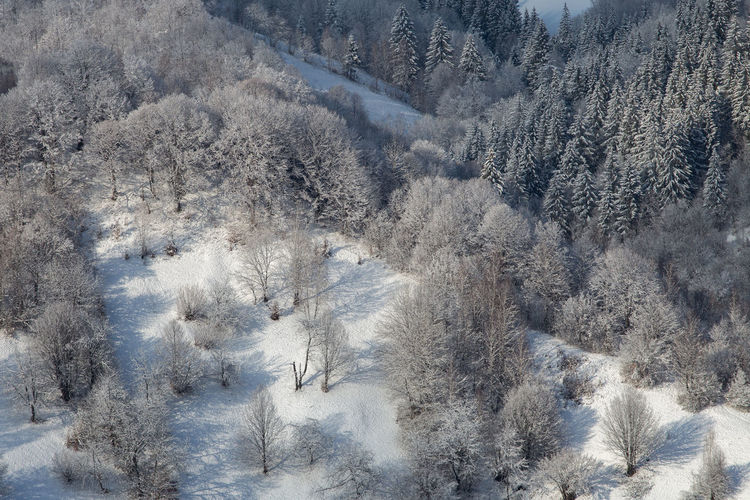 Aerial view of pine trees in forest during winter