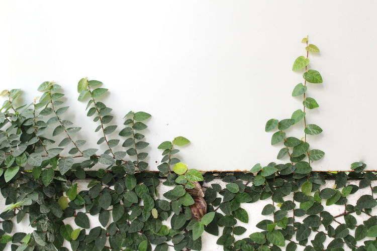 Copy Space Creeper Plant Day Freshness Green Color Growth Ivy Leaf Nature No People Plant Plant Part White Background