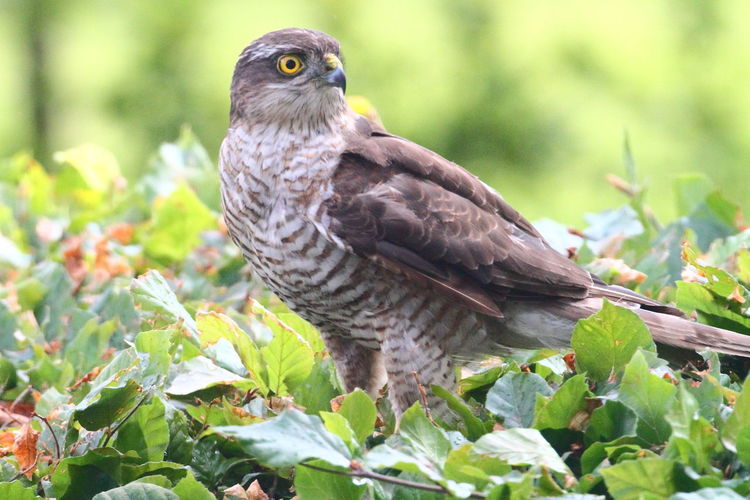 Sparrowhawk Sparrow Hawk In Beech Hedge Animal Wildlife Animal Themes Animal Animals In The Wild Bird Vertebrate One Animal Leaf Plant Part Plant Day Nature Close-up Focus On Foreground Bird Of Prey Perching No People Tree Outdoors Green Color Animal Eye