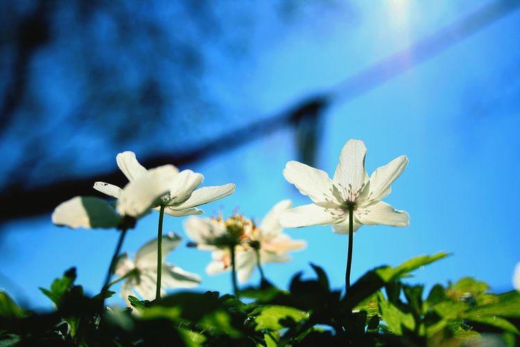 Wood anemones striving for sun! Wood Anemones Spring Into Spring Spring Flowers Spring Has Arrived Yeah Springtime! Cobalt Blue By Motorola