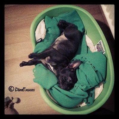 Daily Puppy photo. Someone is almost getting too big for her bed. Frenchbulldog AdventuresOfMolly