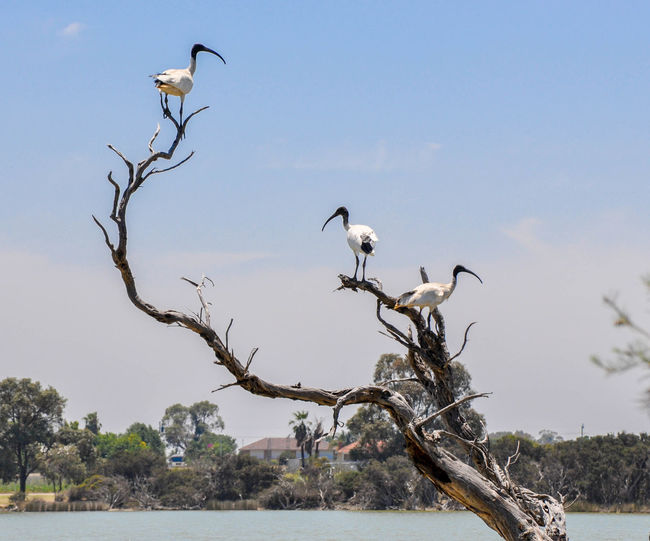 Birds perching on dead tree
