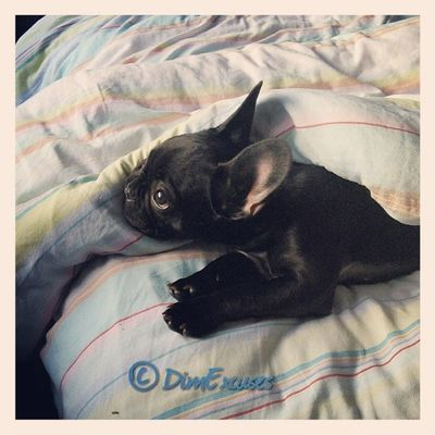 Duvet Day. AdventuresOfMolly Frenchbulldog Puppy