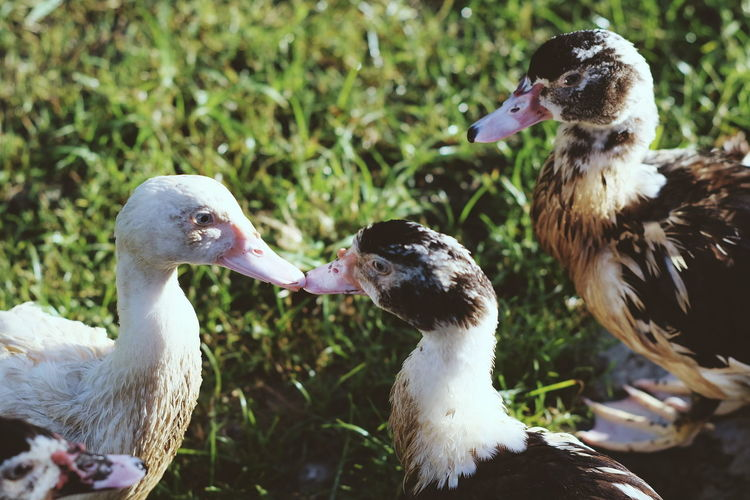 High Angle View Of Muscovy Ducks Perching On Grass