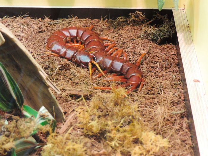 Animals Animals In Captivity Brown Danger Danger Zone Dangerous Dangerous Animals Nature No People Outdoors Photo Photography Rare Scolopendra Wilde