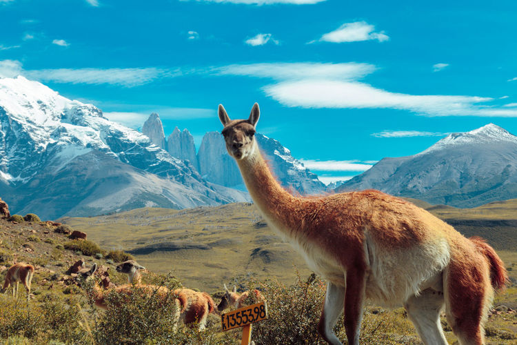 Portrait Of Llama Standing Against Mountain And Sky