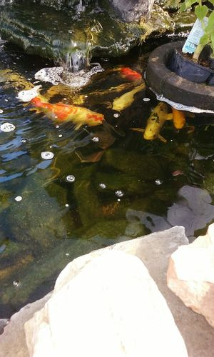 Koi Pond Koi Fish Relaxation Running Water Home Is Where The Art Is Waterscape Koi The Week On Eyem