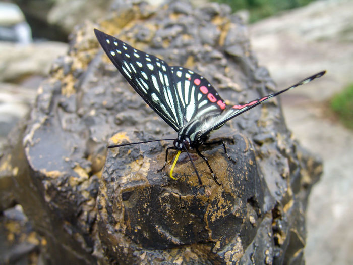 A butterfly resting on a rock Beautiful Biological Butterfly - Insect Citrus Swallowtail Butterfly Decorative Pattern Flying Lepidoptera Nature Outdoors Pollination Pterygota Shape Gold Swallowtail Butterflie Graceful In China Insects  Large Group Of Objects Natural Pollen Animal Wildlife Invertebrate Animal Animals In The Wild One Animal Animal Wing Insect Animal Themes Solid Rock Rock - Object Close-up Focus On Foreground Day No People Beauty In Nature Animal Antenna Butterfly