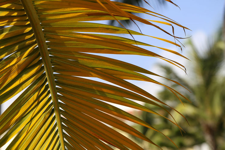 Growth Plant Palm Tree Leaf Palm Leaf No People Plant Part Day Nature Tropical Climate Beauty In Nature Close-up Tree Focus On Foreground Outdoors Green Color Yellow Sunlight Frond Freshness Coconut Palm Tree Palm Tree Tropical