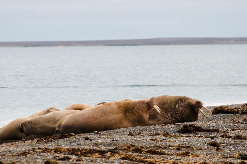 Walrus Family - Svalbard Family Norway Sea Lion Spitsbergen Animals In The Wild Aquatic Mammal Arctic Mammal Polar  Sea Svalbard  Walrus Water
