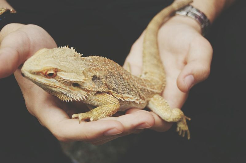 Cropped hands holding lizard