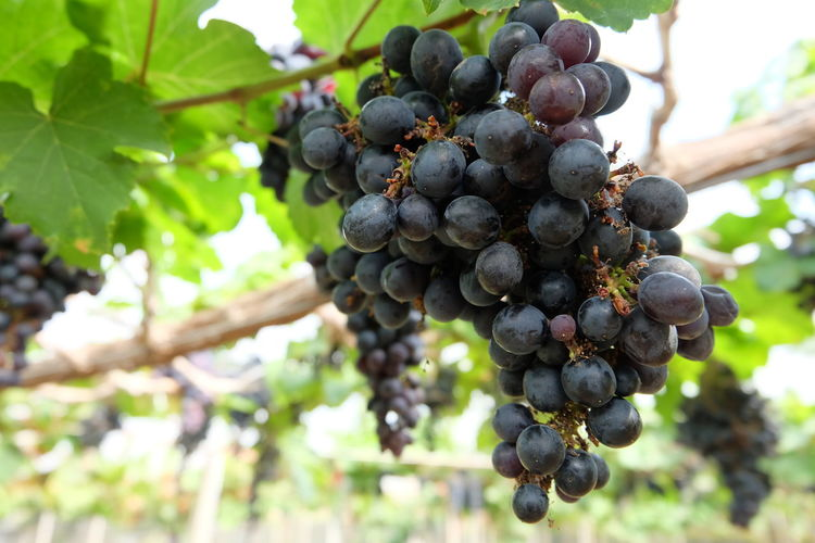 Low Angle View Of Grapes In Vineyard