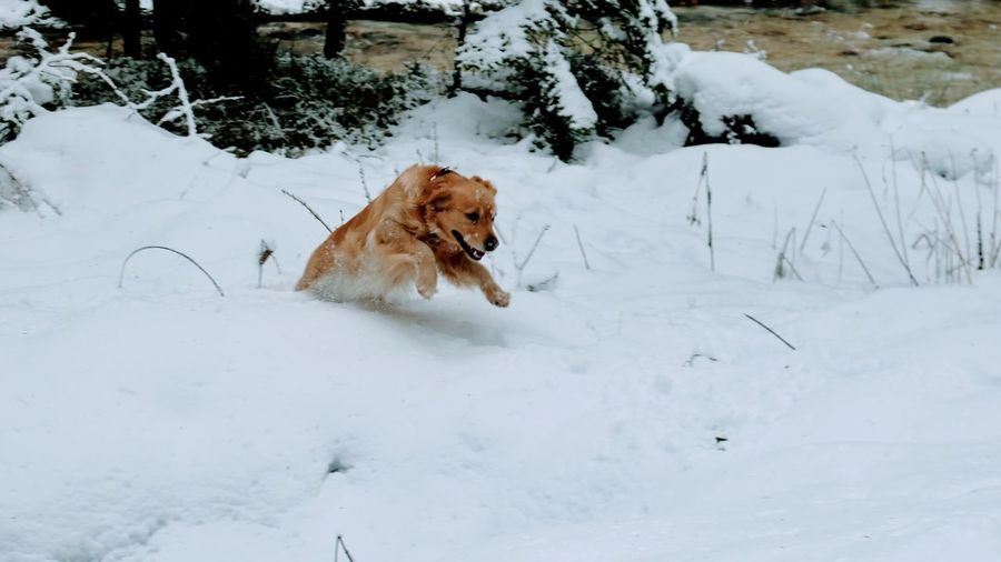 Golden Retriever Animal Themes Beauty In Nature Cold Temperature Day Dog Domestic Animals Field Mammal Nature No People One Animal Outdoors Pets Snow Weather Winter Shades Of Winter