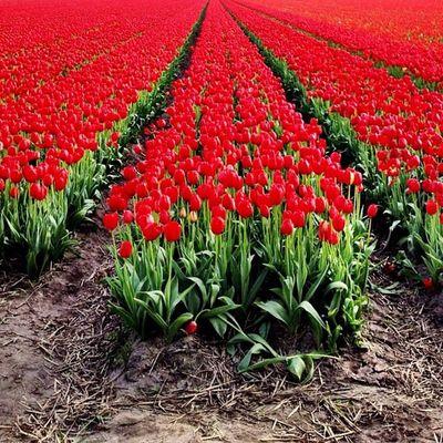 RED #tulips #igersholland #holland #dutch #flower #ubiquography #keukenhof #tulipfieldsexperience Flower Holland Tulips Dutch Keukenhof Ubiquography Igersholland Theflowerofgardens Tulipfieldsexperience O2travel