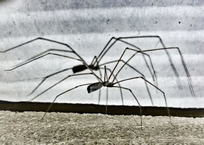 Todays work companion, Harry the Harvest Spider. Spider Legs Legs Legs Edited Scary Shadows Spiders Nature Photography Arachnophobia Insect Photography Spiderworld